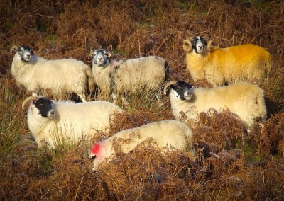 Yellow Tup